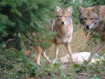 Two coyotes in an evergreen forest